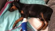 """Baasje zoekt automobilist die zijn hondje bijna doodreed: """"Ik hoorde hem janken, het was verschrikkelijk"""""""