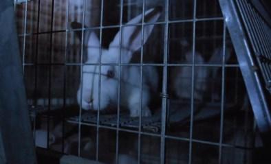 """Animal Rights toont schokkende undercoverbeelden van Vlaamse konijnenvleesindustrie: """"Iedere nacht creperen hier konijnen"""""""