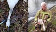 """Natuurhulpcentrum verbolgen over dood kleine zwaan: """"Vogels werden doelbewust beschoten met hagelbollen"""""""