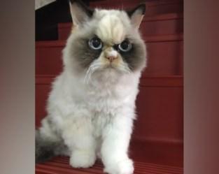 Er is een nieuwe Grumpy Cat … en ze is nóg bozer dan de vorige