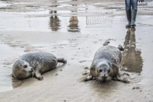 Opvangcentrum schoolt zich bij om zeehondjes te helpen