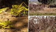 "Sprinkhanenplaag veroorzaakt voedselschaarste en hongersnood: ""Symptoom van klimaatverandering"""