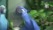 Ara uit Rio keert terug in het wild, met dank aan Bocholtse dierenarts