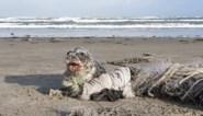De trieste waarheid op de stranden van de Lage Landen: zeehond kan zich niet meer uit visnetten wurmen