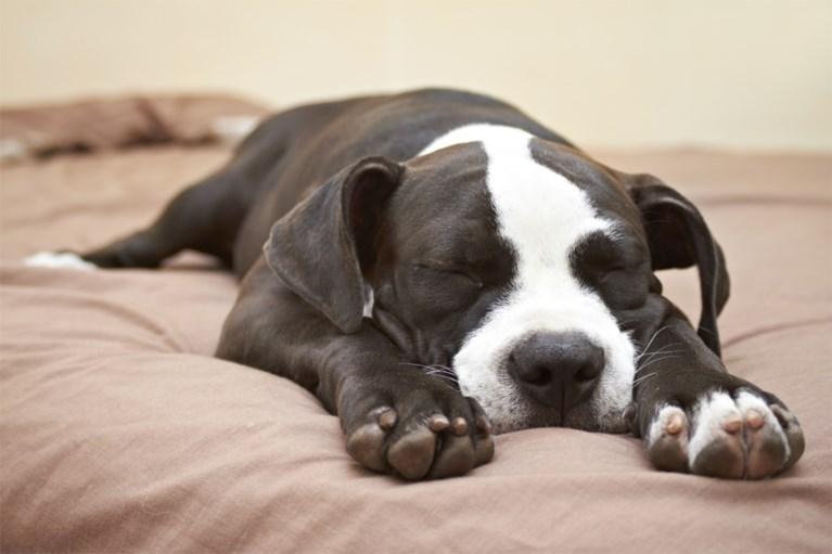 Wil je weten hoe jouw hond zich voelt? Kijk dan naar zijn slaaphouding