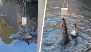 Koppel wil alligator filmen door smartphone aan draad vast te knopen, maar dat is buiten het dier zelf gerekend