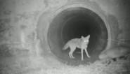 Onwaarschijnlijk duo gefilmd: bevriende coyote en das gaan samen op pad