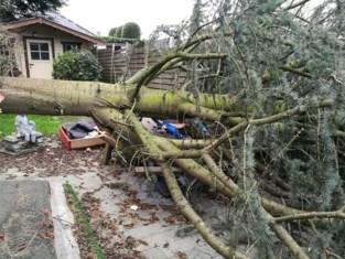 Oude spar sneuvelt door stormweer