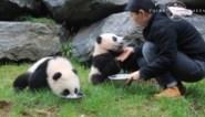Babypanda's zetten eerste stapjes in buitenwereld