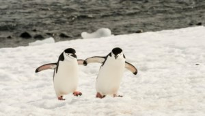 """Greenpeace: """"Pinguïnkolonies met 77 procent geslonken in halve eeuw tijd"""""""