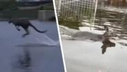 Amper enkele weken na bosbranden: kangoeroes zwemmen door ondergelopen straten tijdens hevig regenweer