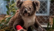 """Koala's en 112 andere diersoorten hebben """"dringend"""" hulp nodig na bosbranden Australië"""