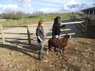 Opnieuw honderdtal dieren in beslag genomen bij hardleerse landbouwers die eerder al celstraf kregen wegens verwaarlozing