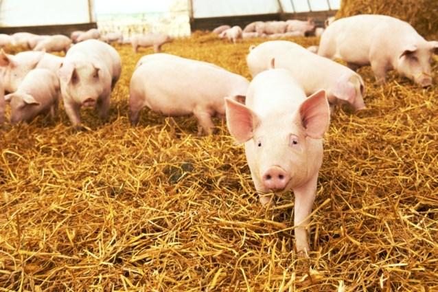 Belgisch varkensvlees opnieuw welkom in Kazachstan: invoerverbod opgeheven