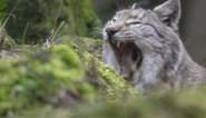 """Na de wolf komt nu ook de lynx naar ons land: """"Maar 'het spook van het bos' is meester in onder de radar blijven"""""""