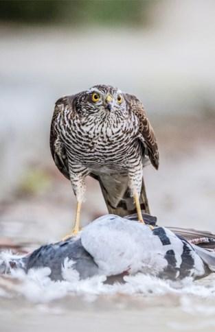 Duivenbond overspoeld: op één week 250 foto's van gedode duiven