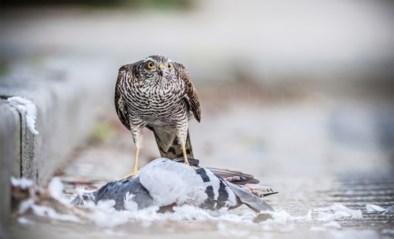 Duivenbond overspoeld met roofvogelslachtoffers: op één week 250 foto's van gedode duiven