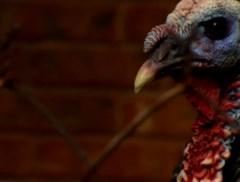 Vergeet Thanksgiving, in deze stad hebben de kalkoenen het voor het zeggen
