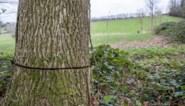 """Dorp zoekt vandaal die eeuwenoude bomen doodt met kettingzaag en gif: de jacht op de """"sluipmoordenaar"""" van Schorisse"""
