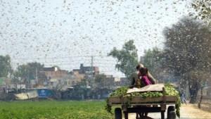 """Rukt verwoestende sprinkhanenplaag op naar Europa? """"Zoals het er nu naar uitziet, is de plaag niet onder controle te krijgen"""""""