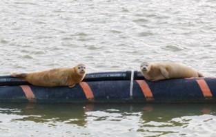Nadat ponton flopt: krijgen zeehondjes straks andere opmerkelijke plek om te chillen?