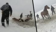 Prachtige reddingsactie: boeren redden elf paarden die door ijskoude rivier zijn gezakt