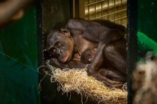 Bonobobaby in Planckendael is meisje, publiek mag naam kiezen