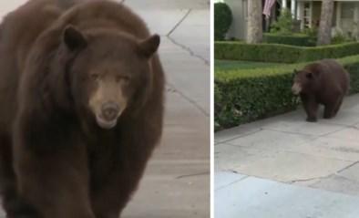 Wilde beer slentert op gemak door woonwijk