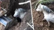 Doodsbange pony mag opgelucht ademhalen nadat boeren dier bevrijden uit diep gat