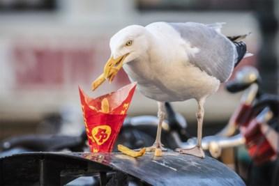 Stadsvogels eten te veel junkfood: etensresten tasten spijsvertering aan