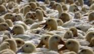 China gaat voor 'biologische oorlogsvoering' tegen sprinkhanenplaag en stuurt... een leger eenden
