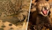 Twee cheetawelpjes geboren dankzij ... IVF (en maken daarmee geschiedenis)