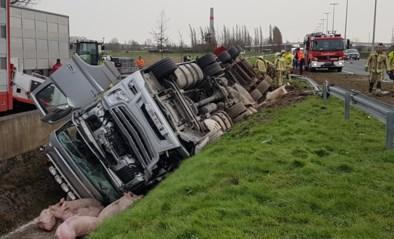 Vrachtwagen met 200 varkens belandt in sloot