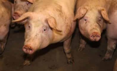 Brandweer uren in de weer om zeven varkens uit mestput te redden