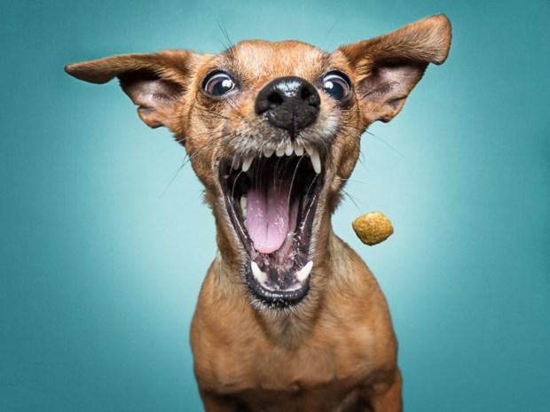 Weinig hond, veel karakter: het verhaal achter de populairste hond van Vlaanderen