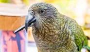 Papegaaien doen aan kansberekening