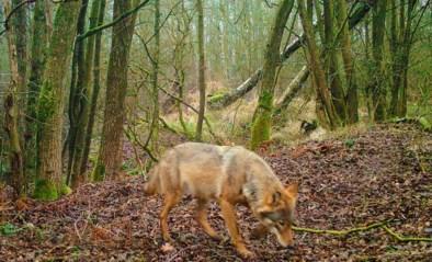 Tijdelijk jachtverbod zodat wolvin Noëlla in alle rust haar welpjes kan krijgen