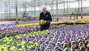 """Bloementeler ziet 200.000 viooltjes, primula's en madeliefjes in container verdwijnen: """"Een drama. De verliezen zijn gigantisch"""""""