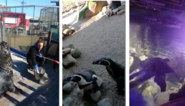Corona houdt verzorgers Sea Life niet tegen: filmpjes tonen hoe dieren gevoederd worden