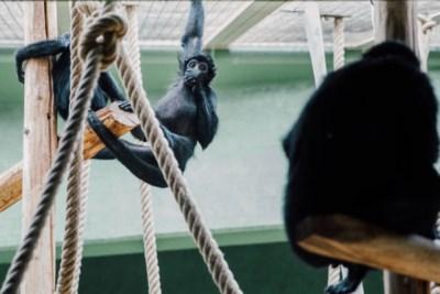 Zo(o) vergaat het de dieren in parken zonder publiek: dolfijnen blijven tuimelen, chimpansee bekogelt nu personeel