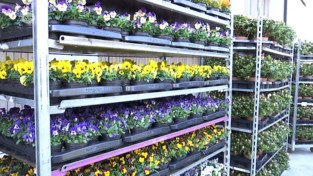 Temse slaat dubbelslag: gemeente helpt sierteler in nood en zorgt voor bloemen in uw kot