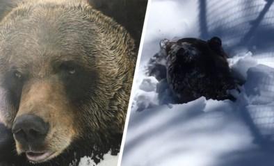 """""""Wat ben ik blij om jou te zien!"""": grizzlybeer ontwaakt uit diepe winterslaap"""