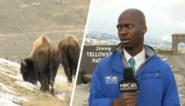 Reporter wordt op sociale media het voorbeeld voor 'social distancing' wanneer hij vlucht voor bizons