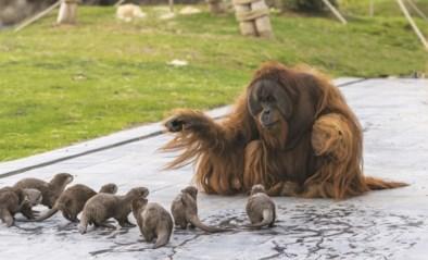 Pairi Daiza in lockdown haalt toch wereldnieuws: orang-oetans spelen met hun otter-vrienden