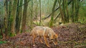 Nieuwe wolf steekt als allereerste wolf in de geschiedenis het Albertkanaal over