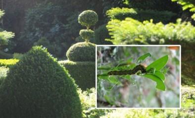 Voordeel van thuisblijven: je kan je planten redden van de buxusrups