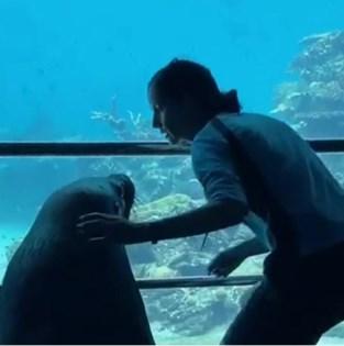 Na de pinguïns mogen nu ook zeeleeuwen vrij rondlopen in dierentuin