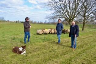 """Gemeentebestuur zet voor het eerst schapen in als levende grasmachine: """"Goedkoper én ecologischer"""""""