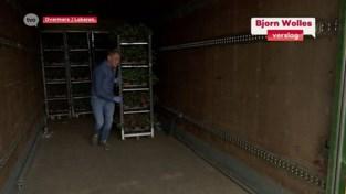 Overmeerse bloemenkweker voorziet ziekenhuizen van azalea's