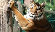 """Ook in onze dierentuinen schuilt het gevaar van het coronavirus: """"Al van bij de eerste berichten hebben we maatregelen genomen"""""""
